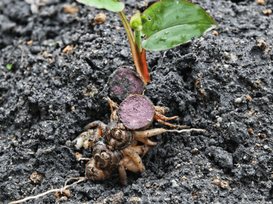 Pokok Kunyit Hitam Black G